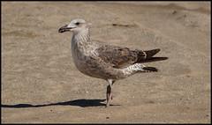 Gaviota 1 (Totugj) Tags: argentina birds fauna aves uccelli pjaros gaviota pinamar provinciadebuenosaires avesargentinas