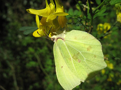 Like a yellow leaf 2 (beneventi2013) Tags: lepidoptera pieridae canonpowershota610 paolobeneventi
