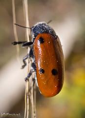 Lachnaia Sexpunctata ( alfanhu) Tags: macro closeup beetle escarabajo sella insecto coleoptera coleoptero carrasca lachnaiasexpuntata