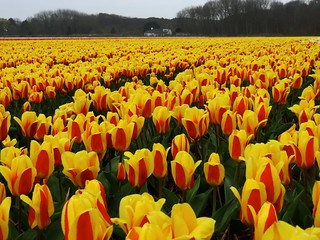 Early tulips. Egmond. The Netherlands.