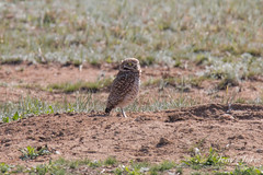 Posing Burrowing Owls