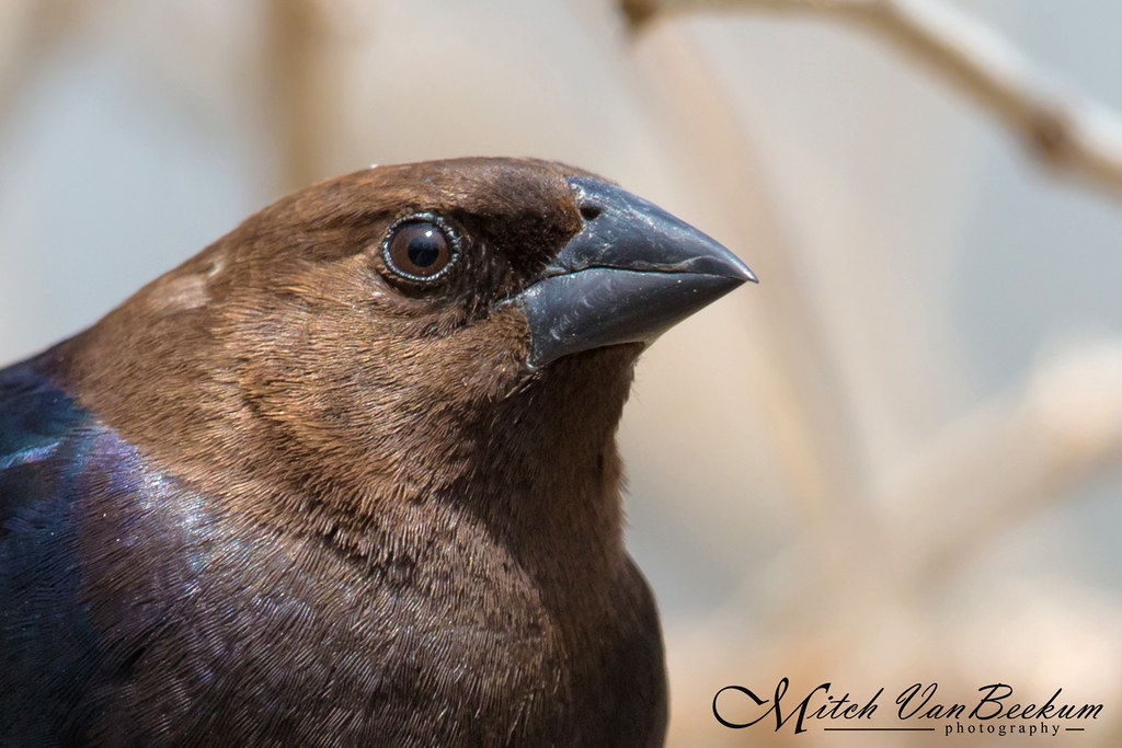Portrait of a Brown-headed Cowbird