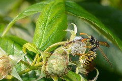 First meeting... (ARealStone) Tags: macro nikon wasp ant meeting d7100