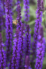 Visitor (Photo Amy) Tags: flowers flower spiky purple salvia tall hpt 50mmf18 almostsummer canoneos50d happypurpletuesday