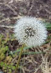 Dandelion (Julia Bristow) Tags: white dandelion seeds wish makeawish