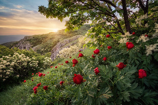 Wild peonies at sunset