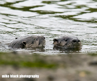 River Otter pair at the NJ shore