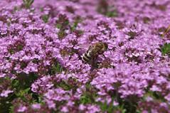 2016_0620AZ (jeansplash) Tags: fleur plante jardin t extrieur abeille lilas macrophoto vgtation platebande fujixs1