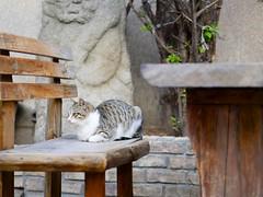 Cat of Insa-dong (Travis Estell) Tags: cat korea seoul insa southkorea jongno insadong straycat graycat greycat republicofkorea jongnogu