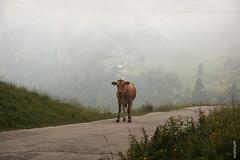 .... (alesolofoto) Tags: campogrosso vicenza veneto italia mucca nuvole clouds camminando