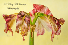 Blooms Fade (Mary McIlvenna Photography) Tags: 2ndplace amaryllis amaryllisclown eisaphotomaestrocompetition2013ukround flora hippeastrum macrostory macrocloseupstory prize silkpaper story closeup colour dying fading floralart flower macro runnerup withering
