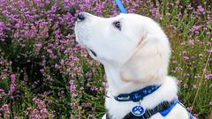 Charlie 13.5 weeks (Mark Rainbird) Tags: canon charlie dog powershots100 puppy retriever uk ufton