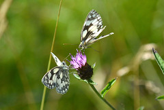 Marbled Whites at Ryton Meadow (robmcrorie) Tags: butterfly meadow whites marbled coventry warwickshire naure conservancy ryton