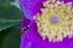 Hover fly / Syrphid fly (brucetopher) Tags: pink flower macro rose yellow canon bug wasp purple bee honey gathering nectar pollen collect collecting virginiana gather rosavirginiana 100mmmacrolens