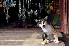 Cat at the Souvenir Shop (catlydy) Tags: animal cat thailand jewlery chiangrai maesalong doimaesalong