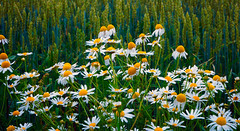 Daisies (Joni Mansikka) Tags: summer nature wildflowers daisies blossom flowers crops cropfield green july white petals yellow colours outdoor paimio suomi finland