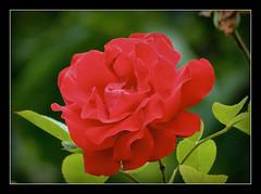 Rosenliebhaber (karin_b1966) Tags: plant flower nature garden blossom natur pflanze blume blte garten 2016 yourbestoftoday rosesympathie