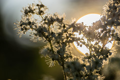 In the Sunshine of your Love (*Capture the Moment*) Tags: sunset sun white backlight sonnenuntergang dof blossom bokeh outdoor blossoms pflanzen bloom sonne weiss wetter gegenlicht blten schrfentiefe 2016 sonynex7 trioplan28100neo