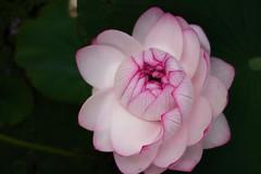 (ishi_st) Tags: flower japan lotus sony saitama rx100