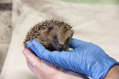 Handle with care (Michelle Tuttle) Tags: hedgehog nature wildlife charity british uk help volunteer rescue