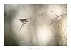 L'hesprie (bertholino fabrice) Tags: macro proxy papillon macrophotographie nature environnement biodiversit fabricebertholino nikond600 nikon capturenx2 bokeh t insectes soir