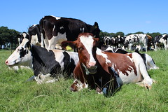 Cows  cows Cows (excellentzebu1050) Tags: julycows2016 cow cattle field farm dairycows heifer animal animals closeup coth5