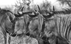 Three Of A Kind (philnewton928) Tags: bluewildebeest wildebeest antelope connochaetestaurinus mammal wild wildlife animal animalplanet nature natural satara kruger krugernationalpark africa southafrica outdoor outdoors safari nikon nikond7200 d7200 bw blackandwhite monochrome