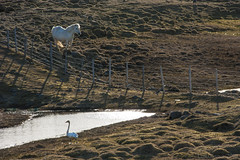 and they could not get together ever ;)... HFFFFF! (lunaryuna) Tags: iceland northiceland rurallandscape pastures spring season seasonalchange fence swan pond whitehorse furryfriday fencefriday hff lunaryuna animals bird