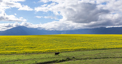 IMG_2820 (francois f swanepoel) Tags: rapeseed calf canola cloud geel landscape landskappe lonesome tulbagh weskaap westerncape witzenmountains witzenberge yellow r46