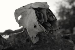 Silencio III (lapsus.cream) Tags: calavera skull naturaleza silencio silence black white