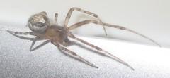 IMG_2363 Spider (John Steedman) Tags: spinne araigne araa uk unitedkingdom england   greatbritain grandebretagne grossbritannien      durham