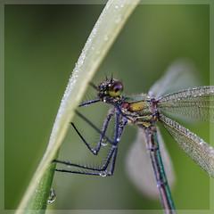 Prachtlibelle_4668 (uwe_cani) Tags: gebnderteprachtlibelle prachtlibelle libelle insekt bach gras makro natur outdoor fauna deutschland nrw rur