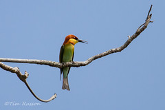 IMG_9600 Chestnut Headed Bee Eater (timrusson) Tags: thailand chestnutheadedbeeeater