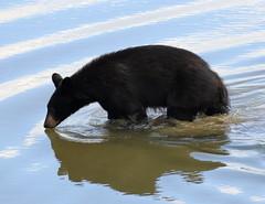 Thirsty bear-Pitt R (Robertmoose) Tags: bear black water river pitt young coquitlam