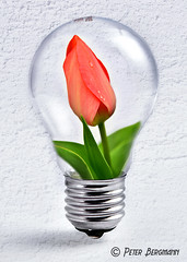 Tulip in light bulb (Peter Bergmann - Fotograf) Tags: gluehbirne tulpe blume umwelt umweltschutz montage fotomontage energie wand weiss hell symbol licht light bulb energy power environment ambience ecology pollution tulip flower plant blossom white wall photomontage composing glhbirne