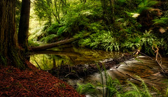 winter forest (Farhat M) Tags: forest stream water leaves trees autumncolours fallentree branches light landscape otway red great ocean road victoria