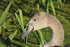 Mute Swan Cygnet (Tony Howsham) Tags: canon eos70d sigma 150500 swt carlton marshes mute swan cygnet suffolk wildlife trust