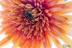 HiKeyOrangeGerbera1-81.jpg (raysul) Tags: closeup beautyinmacro flower gerbera macro floralart flowerphotography decorative depthoffield