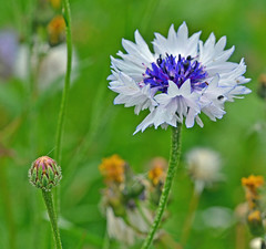 Cornflowers (SimonLH64) Tags: cornflowers insects bees wildflowers wildflowermixtures flowers nature macro closeup