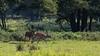 Um Fortpflanzung bemüht! (Dieter Gora) Tags: wildlife rotwild basiskonzeptreproduktion fortpflanzung reproduktion hirsch brunft kahlwild basiskonzept basiskonzeptebiologie dietergora canonef400mmf56lusm canonextenderef14xii