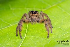H. diardi (mygale.de) Tags: tarantula wallpaper vogelspinne earthtiger birdeater macro photography makro fotografie terrarien terraristik spinnen araneae spiders spider schrfentiefe tier