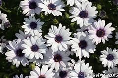 Osteospermum sp. (Lus Gaifm) Tags: osteospermumsp margaridadocabo asteraceae lusgaifm macro natureza nature planta plantae flor flower riodemoinhos marinhas pnln pnlitoralnorte