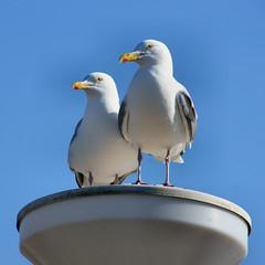 seagulls (atsjebosma) Tags: sun seagulls lamp ngc nederland thenetherlands bluesky april 2015 plaat bloemendaalaanzee zeemeeuwen atsjebosma atsje coth5