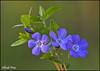 Vinca minor (alfvet) Tags: flowers macro primavera nature nikon ngc natura npc fiori parcodelticino veterinarifotografi