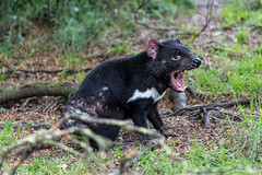 DSC_9603 (dhamments2013) Tags: tasmania cradlemountain tasmaniandevil marksvisit