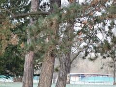 Eichelhäher (garrulus glandarius) Seilerweg in 39114 Magdeburg-Rotehorn (Bergfels) Tags: fauna aves magdeburg garrulus tier vogel passeriformes garrulusglandarius corvidae rabenvogel eichelhäher singvogel rotehorn 39114 passeri häher bergfels sperlingsvogel seilerweg teilzieher ostelbisch