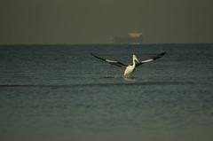 This morning's catch (buberfan) Tags: sea beach birds australia melbourne pelican altona pentaxk5