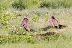 Turkey Vultures spread their wings to cool themselves