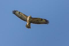 Buzzard (Phal44) Tags: bird canon sussex 7d mk2 buzzard southdowns birdofprey shoreham bif shorehambysea millhill birdinflight 200400 200400mm 7d2