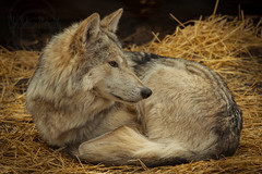 T h e S p r i n g W o l f (Chris Robinson Photography) Tags: light wolf bright wildanimal hay wolfs sittingpretty ilovephotography thezoo rochesternewyork mexicanwolf senecaparkzoo perfectlight zoophotography ef70200mmf4lisusm wildanimalphotography